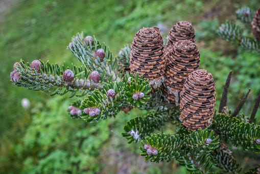 Cones, Needles, Green, Tree, Conifer, Branch, Close Up