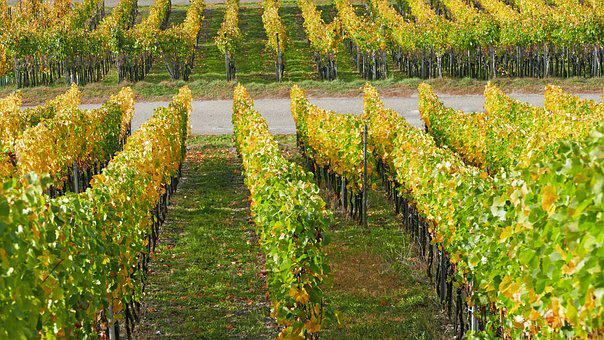 Landscape, Nature, Wine, Vines, Light, Sun, Autumn