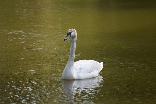 Schwan, Svan, Swan, Bird, Nature, Lake, Water, White