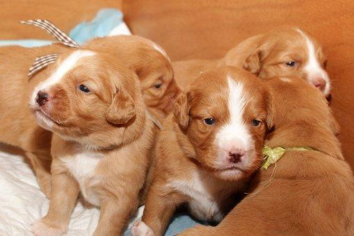Puppy, Toller, Adorable, Cute, Dog, Retriever, Pet