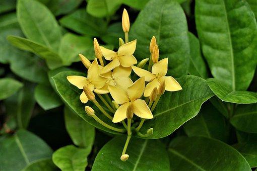 Roses, Yellow, Thailand, Agrimonia Eupatoria