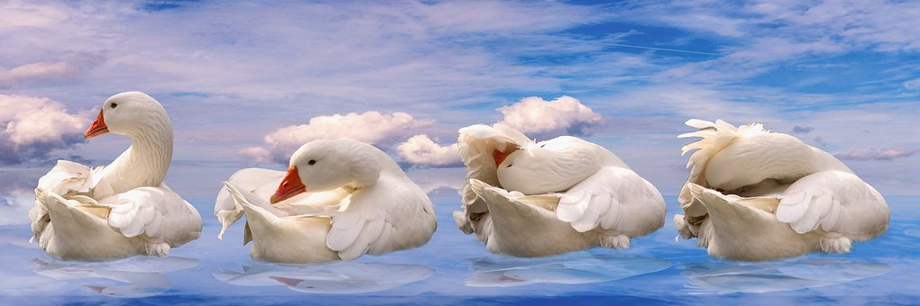 Animals, Goose, Bird, Feather, Poultry, Water Bird