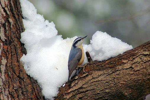 Nuthatch In Winter, Nuthatch, Winter, Bird, Ozarks