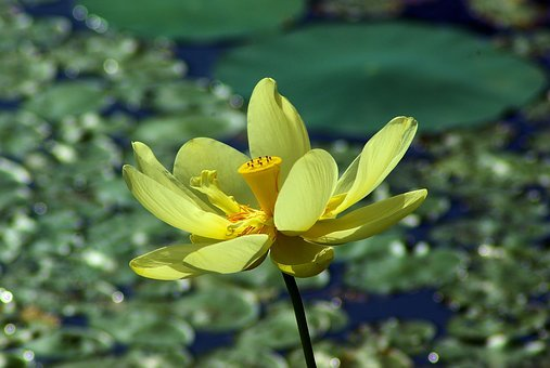 Yellow Pond Lily, Yellow, Lily, Pond, Bloom, Nature