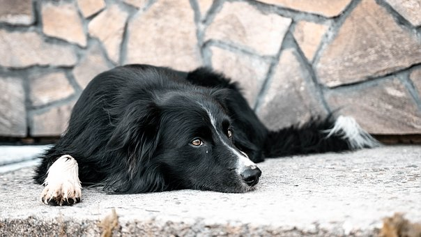 Dog, Bordercollie, Animal, Animals, Attractive, Border