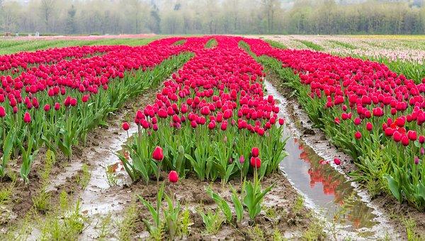 Agassiz, Agassiz Tulip Festival, British Columbia