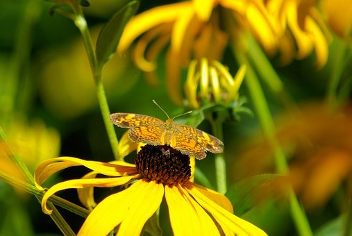 Butterfly On A Black-eyed Susan, Black-eyed, Susan