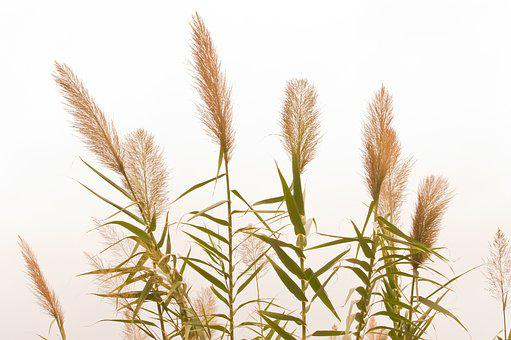 Cereals, Plant, Agriculture, Summer, Grain