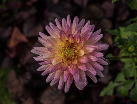 Blossom, Bloom, Dahlia, Flower, Flora, Dahlia Garden