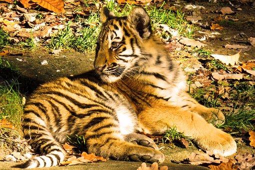 Animal, Tiger, Young Tiger, Big Cat, Dangerous