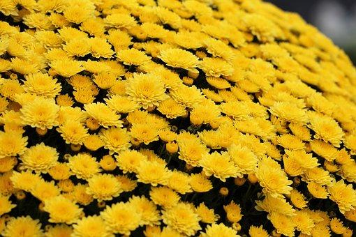 Yellow Chrysanthemum, Plant, Flower, Decorative, Autumn