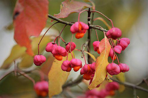 European Spindle, Euonymus Europaeus, Toxic, Branch