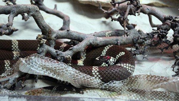 Reptile, Snake, Nature, Exotic, Dangerous