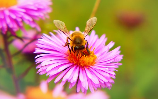 Bee Miodna, Insect, Flower, Apiformes, Wings, Animals