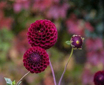 Flower, Dahlia, Blossom, Bloom, Flora, Plant, Nature