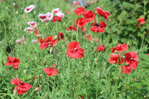 Mack, Plant, Flower, Bloom, Red, Green, White, Field