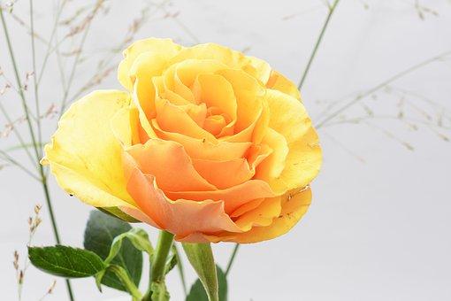 Rose, Flower, Blossom, Bloom, Nature, Plant, Romance