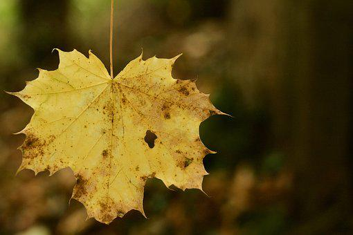 Leaf, Fallen, Autumn, Tree, Yellow, Focus, Decay