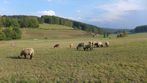 Rhön, Landscape, Sheep, Pasture, Forest, Autumn, Brown