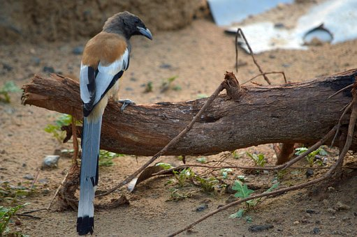 Rufous Treepie, Indian Bird, Gujarat Bird