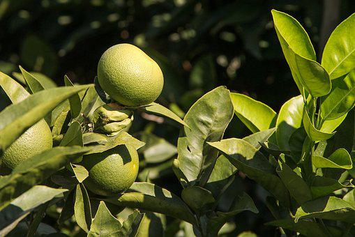 Lemon, Green, Lemon Tree, Fresh, Healthy, Immature