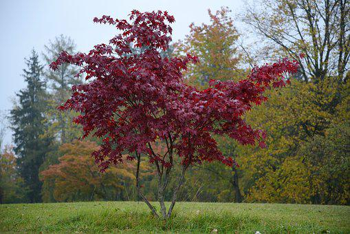 Isolated Tree, Tree Red, Fall Color, Tree, Leaves