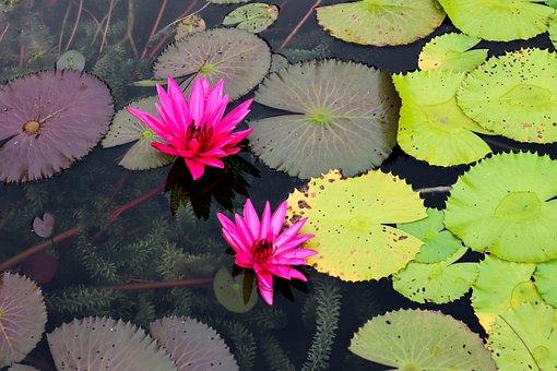 Lotus, Water Lily, Pond, Bloom, Blossom, Pink, Leaf