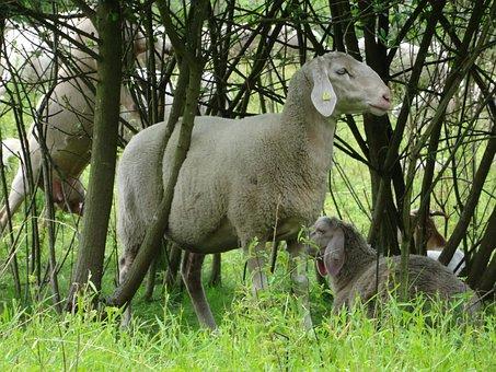 Sheep, Flock Of Sheep, Pasture, Shepherd, Field, Meadow
