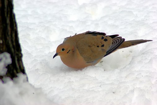 Mourning Dove In Winter, Dove, Mourning, Bird, Nature