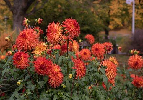 Flower, Dahlia, Plant, Flora, Bloom, Nature