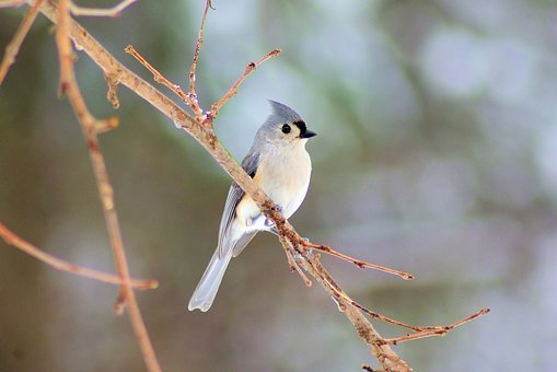 Winter, Tufted Titmouse, Bird, Tufted, Titmouse, Nature