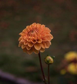 Blossom, Bloom, Dahlia, Flower, Plant, Flora