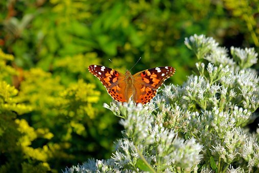 Flowers Butterfly, Plant, Flowering