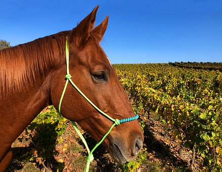 Horse, Head, Portrait, Vines, Fall, Brown, Sun, Halter