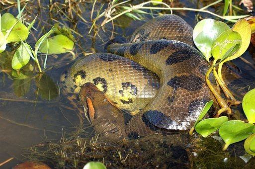 Anaconda, Snake, Reptile, Constrictor, Dangerous