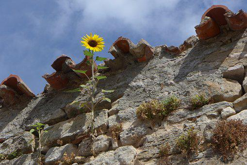 Sunflower, Plant, Wall, Growth, Nature, City Wall
