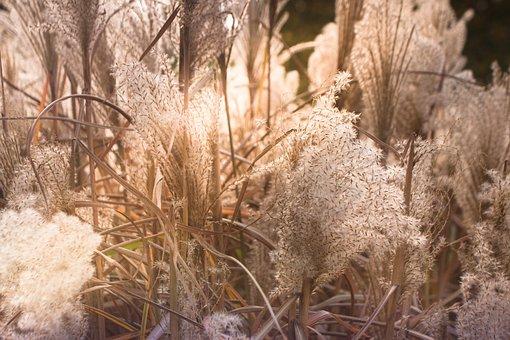 Wheat Grasses, Hay Fever, Rural, Pollen, Allergy, Plant