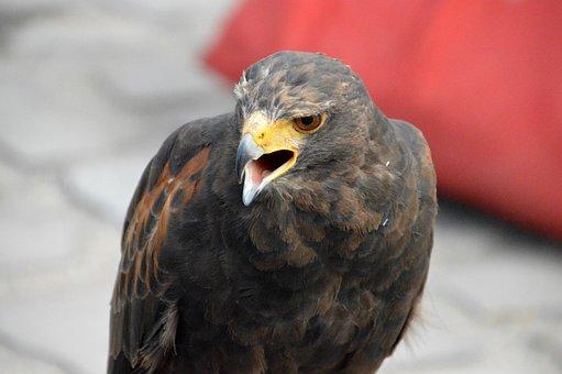 Buzzard, Falcon, Bird, Predator, Prey, Pen, Beak, Wild