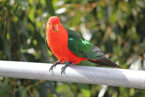 Parrot, Australian King Parrot, Wildlife, Bird, Animal