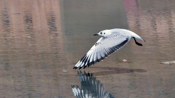 Seagull, Flight, Birds, Gulls, Wings