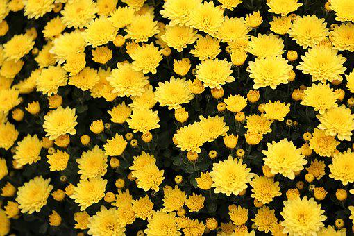 Yellow Crysanthemum, Flower, Plant, Bloom, Decorative