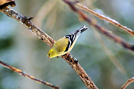 Yellow Winter Finch, Goldfinch, Finch, Feathers, Yellow
