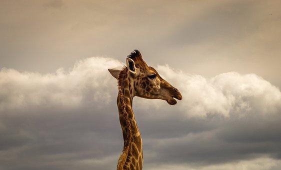 Giraffe, Portrait, Safari, Africa, Sky, Animal World