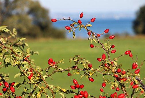Rose, Plant, Close Up, Fruit, Autumn, Beach