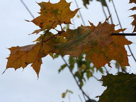 Autumn Leaf, Autumn, Golden Polish Autumn, Leaf