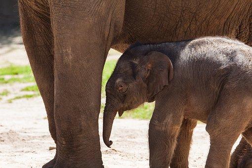 Elephant, Young Animal, Baby Elephant, Animal