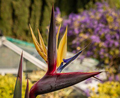 Caudata, Bird Of Paradise Flower, Exotic, Blossom