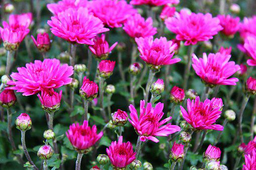 Violet Chrysanthemums, Chrysanthemum, Bloom, Flower
