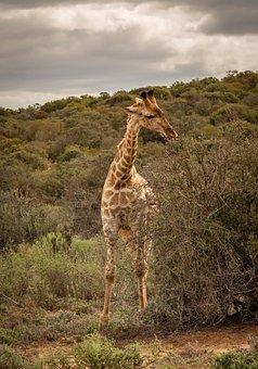 Giraffe, Safari, Africa, Savannah, Bush, Eat, Acacia