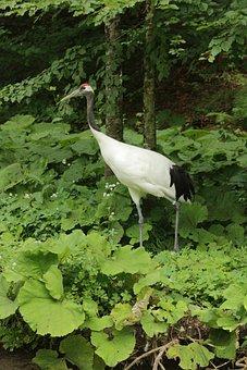 Chinese Crane, Tierpark Berlin-grünau